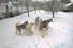 Sibiřská rodinka a první sníh