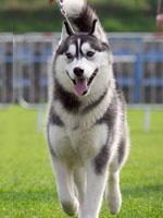 husky06
